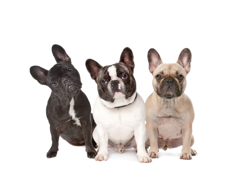 The 11 Best French Bulldog Rescue and Adoption Centers
