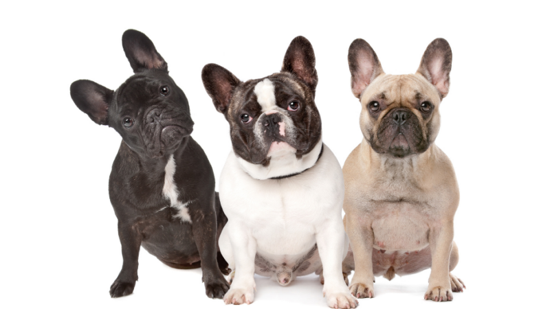 The Best French Bulldog Rescue and Adoption Centers