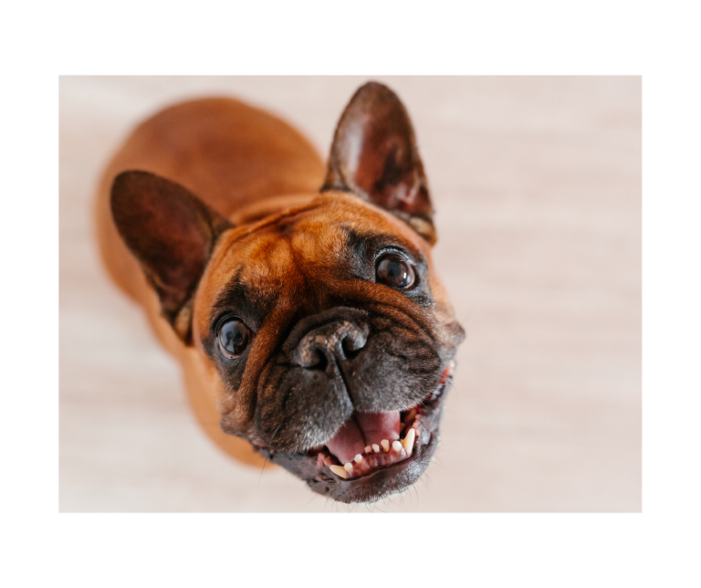 15 Fun Facts About French Bulldogs