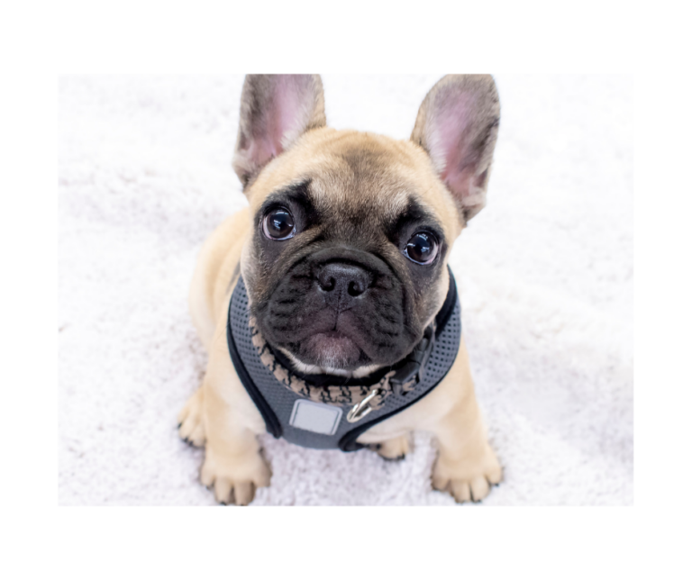 A Guide To Mini French Bulldogs