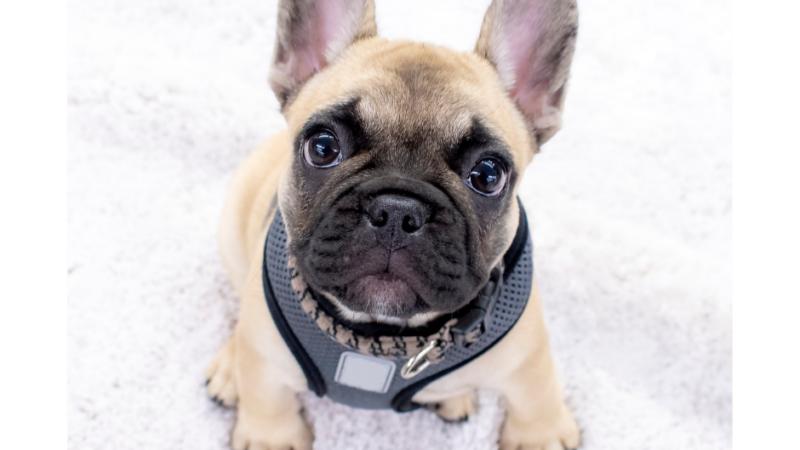 A Guide To Mini French Bulldogs