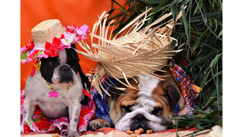 French Bulldog Vs English Bulldog (Similarities & Differences)