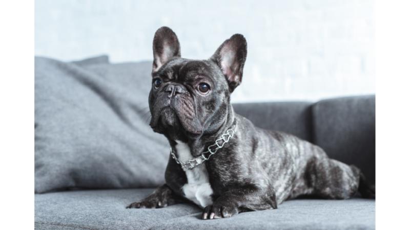 The Lifespan of a French Bulldog