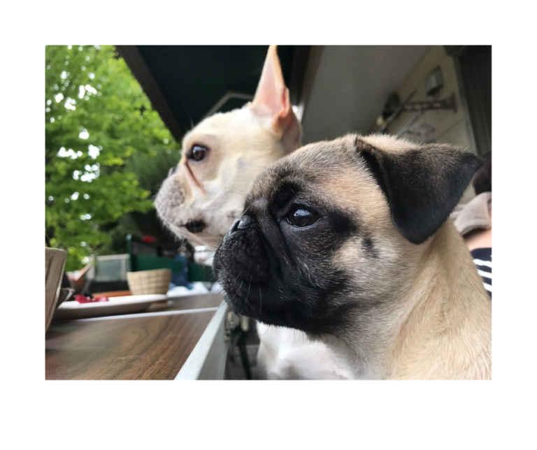 French Bulldog vs Pug: 16 Similarities and Differences