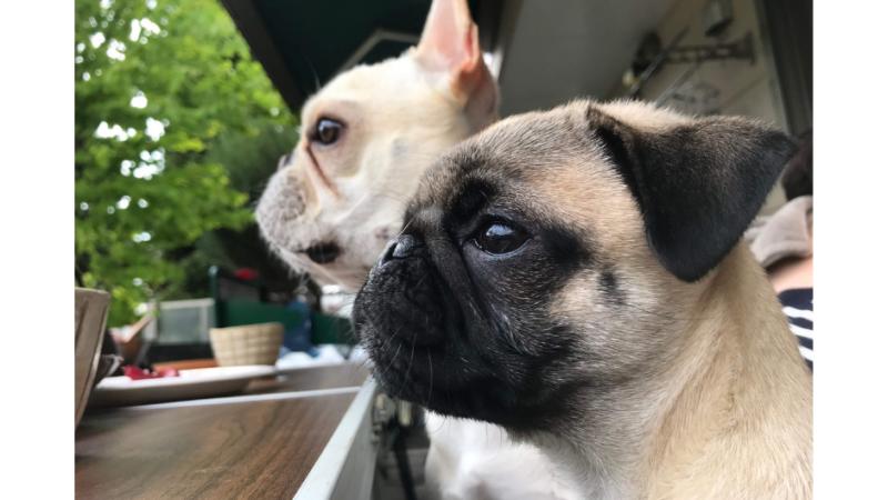 French Bulldog vs Pug: 16 Similarities and Differences