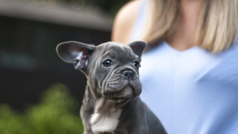 French Bulldog Puppy : A Complete Owners Guide