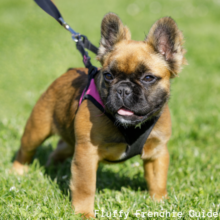 Fluffy Frenchies: Your Long-Haired French Bulldog Guide