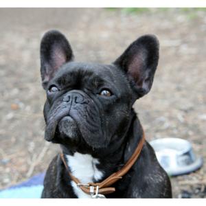 7 French Bulldog Clubs in America