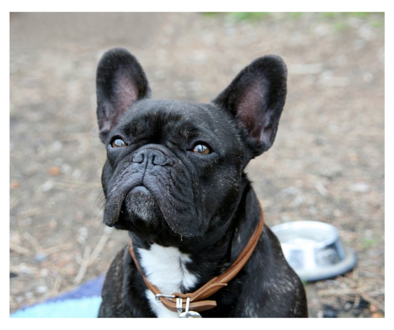 7 French Bulldog Clubs in America