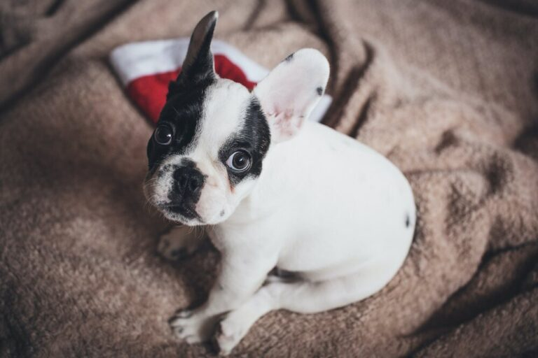 Frenchton: 10 Facts You Should Know About This Breed