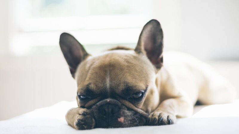 Are French Bulldogs Lazy?