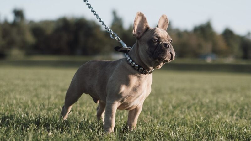 Merle French Bulldogs: The Most Unique Frenchie