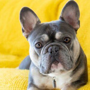 20 Reasons Why French Bulldogs Make Good Pets