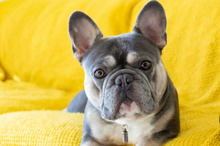 20 Reasons Why French Bulldogs Make Good Pets