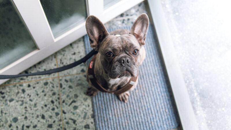 An Essential Guide to Adult French Bulldogs