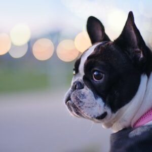 10 Key Tips for Flying With Your French Bulldog