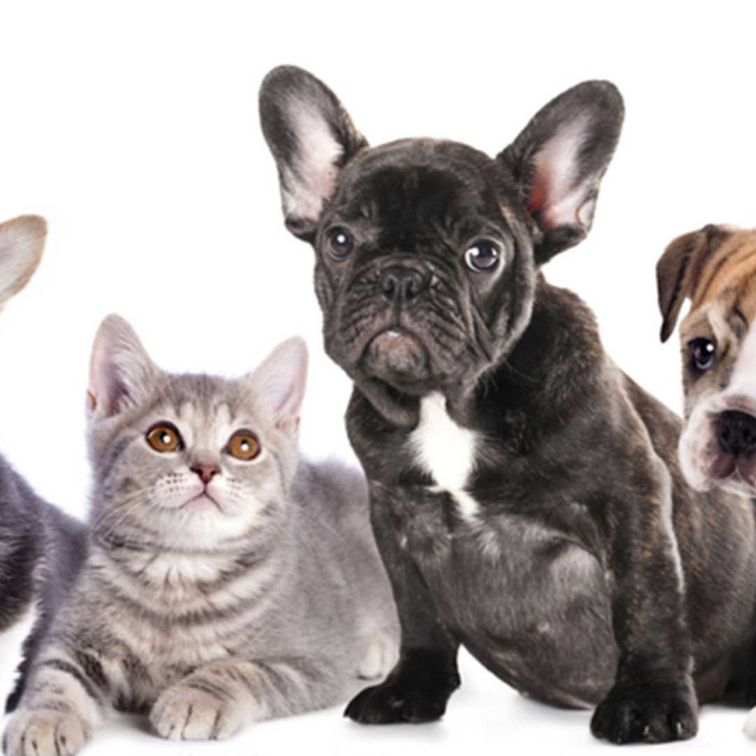 Do French Bulldogs Get Along With Cats? A 7 Step Guide