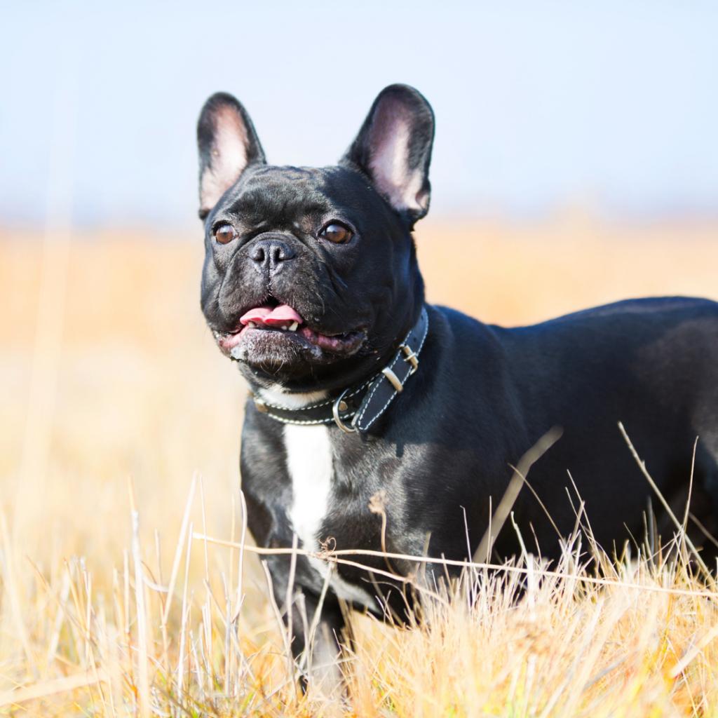 french bulldog hot weather