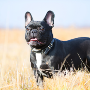 7 Tips For Surviving Hot Weather With Your French Bulldog