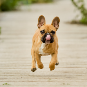 11 Things French Bulldogs Like to Do