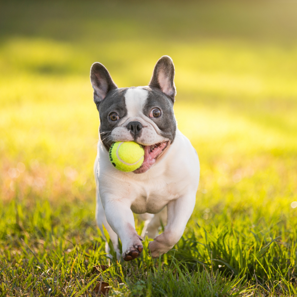 what french bulldogs like