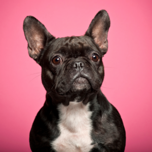 How To Clean French Bulldog Folds